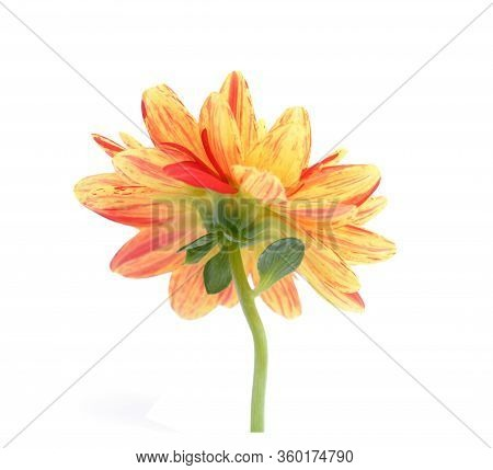 Two Tone Red And Yellow Dahlia Flower Isolated On White Background