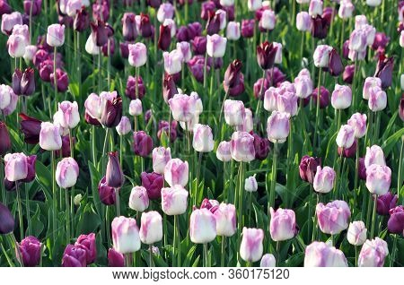 Colorful  Tulip Flowers  In Spring Season Garden