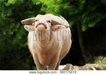 White Buffalo Or Albino Buffalo Is Smiling Or Showing His Teeth In Nature. Front View On Soft Blurre