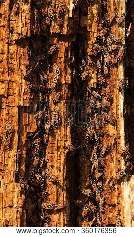 A Lot Of Red Beetles On The Bark Tree In Spring Macro Photo