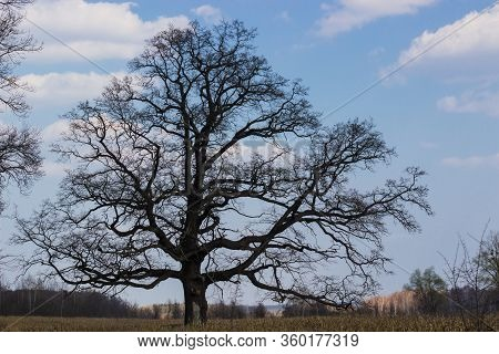 Old Oak Tree In The Background Of The Blue Sky