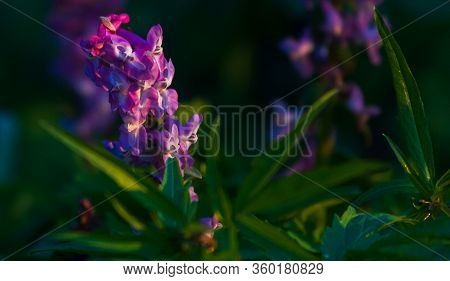 Beautiful Purple Wild Flower In Sunset. Spring Forest