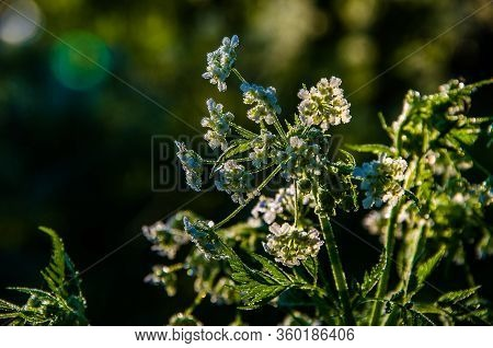 Yarrow In The Frost And Morning Mist By The Pond