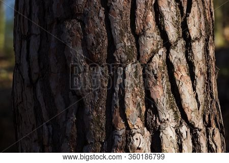 Large Trunk With Rough Bark Of Maritime Pine.