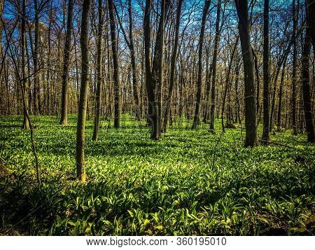 Wild Garlic Carpet In Forest Ready To Harvest. Ramsons Or Bears Garlic Growing In Forest In Spring.