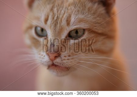 Funny Ginger Cat Closeup Portrait With Unwashed Face
