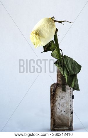 Withered And Faded Rose In An Old Dirty Vintage Bottle On Grey Background. Aging Concept