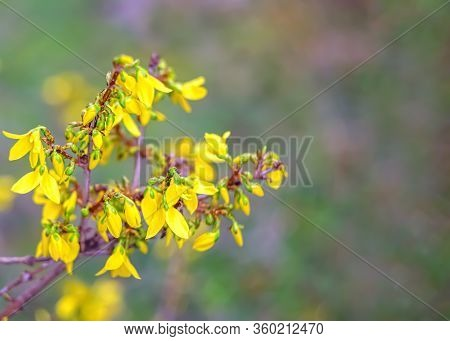 Forsythia Flowers In A Spring Day. Nature Wallpaper Blurred Background With Yellow Florets In Spring