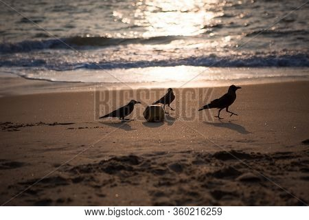 Black Crows Play With Coconut On The Sandy Shore Of The Indian Ocean. Crows In Kerala On The Beach A