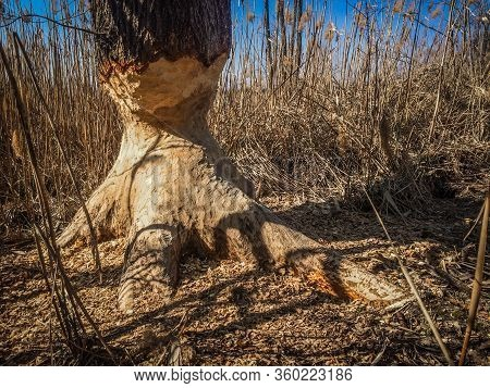 Beaver Gnawed Aspen Tree Trunk In Spring