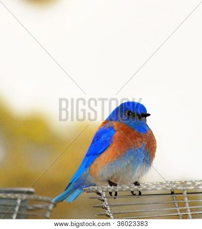 Male Western Bluebird, Siala Mexicana