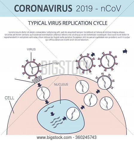 Typical Virus Replication Cycle. Coronavirus 2019-ncov Infographic. Virus Penetration Into The Cell.