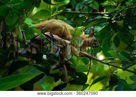 Ratufa Affinis - Cream-coloured Giant Squirrel Or Pale Giant Squirrel, Large Tree Squirrel In Genus
