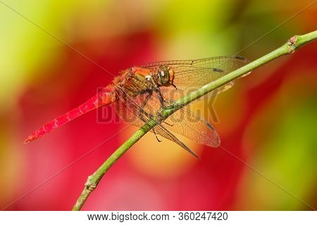 Dragonfly - Orthetrum Testaceum, Common Names Crimson Dropwing Or Orange Skimmer. Is An Asian Freshw