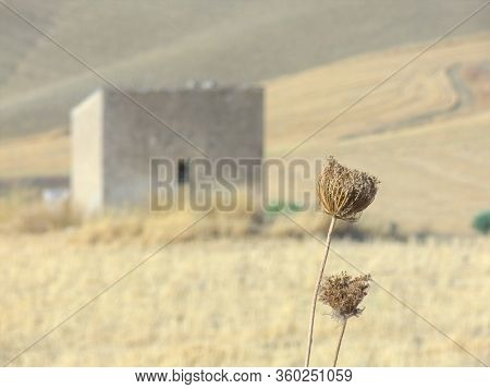 closeup of flowers and fruits shrunken of wild fennel, on the blurred background a typical rural farm landscape of Sicily
