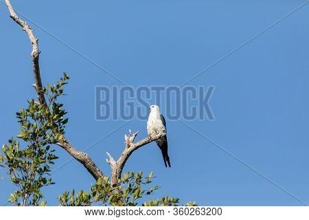 White And Grey Male Swallow-tailed Kite Elanoides Forficatus