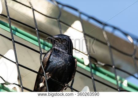 Purple Martin Progne Subis Bird In A Birdhouse