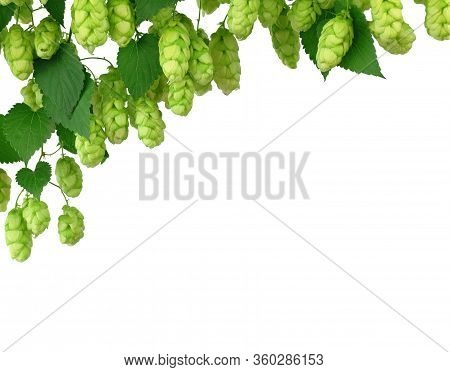 Bunch Of Ripe Hops On Vine With Leaves Grown For Making Beer. Close Up.  Hop Cones On Vine Ready To