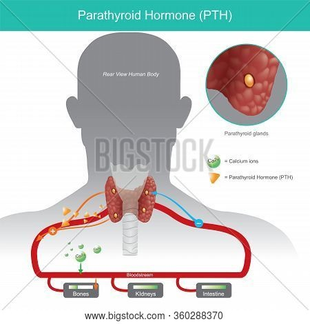 Parathyroid Hormone. It Is Working Control Calcium Levels In The Blood Stream By Increasing When Par