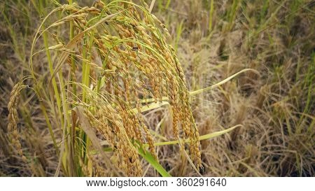 Bunch Of Golden Mature Paddy Crop Background