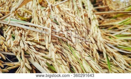 Image Of Harvested Mature Paddy Grain Background