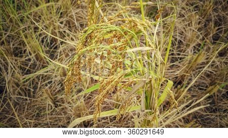 Bunch Of Mature Paddy Grain Ready To Be Harvested In Vintage Background.