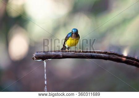Bird (brown-throated Sunbird) In Nature Wild