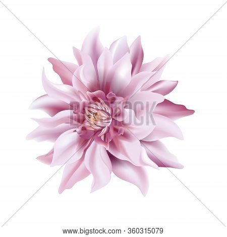 Violet Flower On A White Background Isolated With Clipping Path. Soft Tender Dahlia Closeup. Macro B