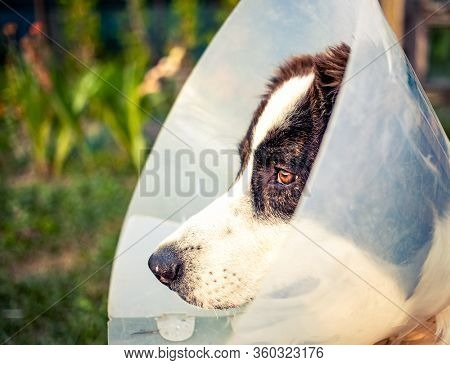 dog wearing Elizabethan plastic cone medical collar around neck for anti-bite wound protection on green grass meadow