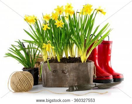 Spring flowers in pot with red rubber boots and garden tools. Gardening floriculture farming. Still life with yellow lent lily, isolated on white background.