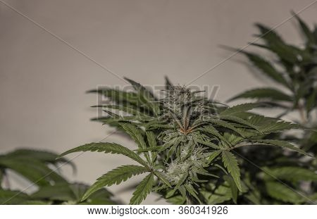 Bubba Kush Variety Of Marijuana Flower With Young Bloom Indoor