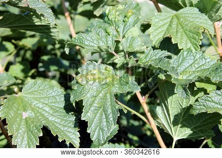 Black Currant Disease. Puccinia Ribesii Caricis. Anthracnose. Gallic Aphids. The Infected Berry Bush