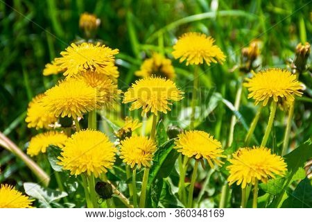 Yellow Dandelions In The Grass. Beautiful Nature Background. View From Above