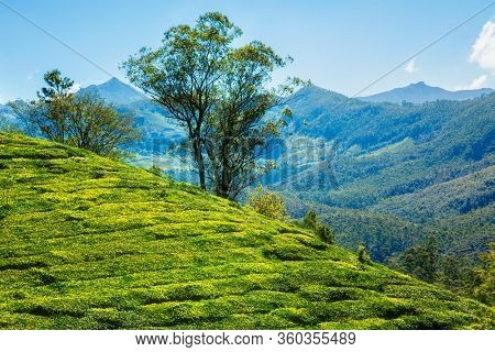 Green tea plantation in the morning with a tree. Munnar, Kerala state, South India