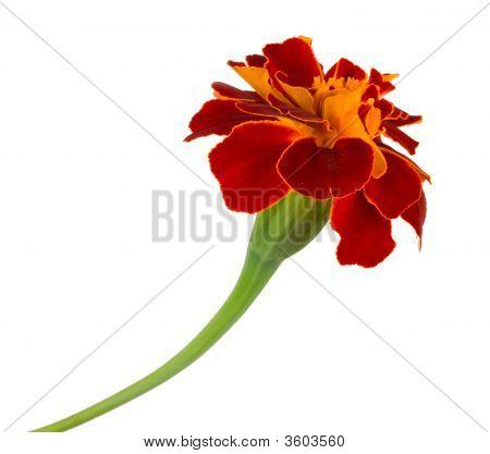 Single Spreading Marigold