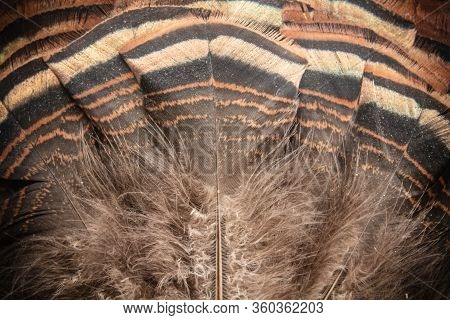 Eastern Wild Turkey Tail Feathers Fan Closeup