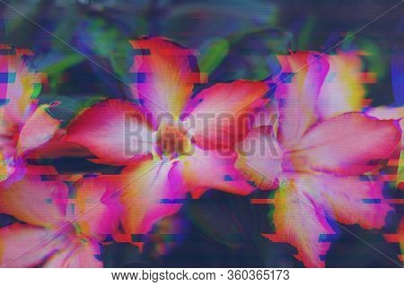 Abstract Digital Pixel Noise. Tropical Flowers With Glitch Effect. Adenium Obesum Or Desert Rose Wit