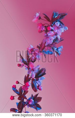Spring Cherry Blossom Flowers Branch In Pink And Blue Back Lit. Flowering Tree Over Pastel Pink Back