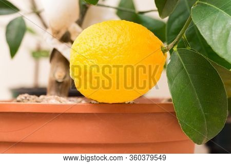A Branch Of A Citrus Plant Grown In A Pot With Ripe Yellow Lemon Fruit And Green Leaves. Indoor Citr