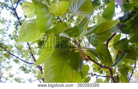 Green Apricot And Green Leaves On Apricot Trees In The Garden. Plowed Land For Fencing. Spring Garde