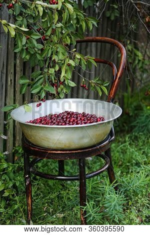 A Delicious, Beautiful Cherry In A Large Iron Bowl Stands On A Wooden Chair Near A Tree In The Garde