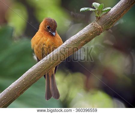 Cinnamon Flycatcher Resting On A Diagonal Small Branch