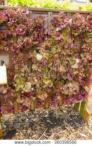 Red Lettuce Vertical Gardening With The Vegetable Plants Growing In A Wood Structure Designed To Max