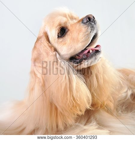 Cute Portrait Of A Fawn Cocker Spaniel On A White Background, Blonde Haired Cocker Spaniel In Studio