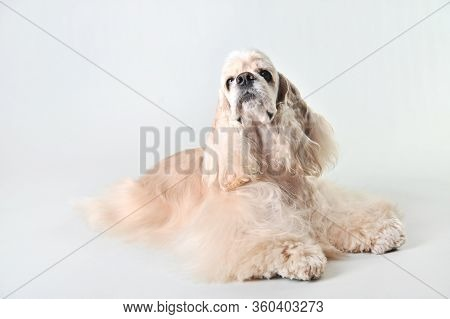 A Fawn Cocker Spaniel Lies On A White Background, Blonde Haired Cocker Spaniel In Studio