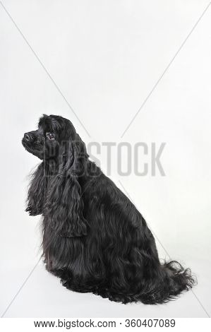 A Black Haired Cocker Spaniel Sits On A White Background, Cocker Spaniel In Studio