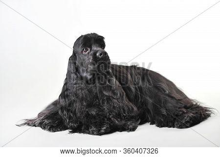 A Black Haired Cocker Spaniel Lies On A White Background, Cocker Spaniel In Studio