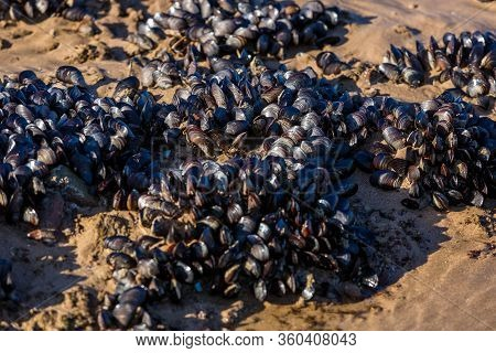 Mussels In Their Natural Habitat. Colonies Of Mussels On The Seashore. Food Background.