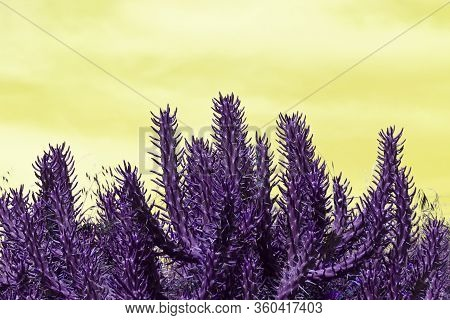 Purple Thorny Cactus Stems On A Yellow Background