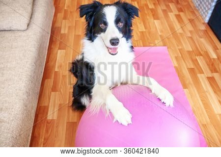 Stay Home Stay Safe. Funny Dog Border Collie Practicing Yoga Lesson With Gym Ball Indoor. Puppy Doin